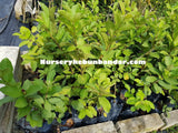 Seedless Guava - Malaysia Online Plant Nursery