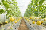 Sweet Yellow Skin Watermelon Seeds - Malaysia Online Plant Nursery
