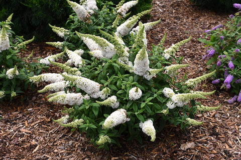 White Butterfly Bush - Malaysia Online Plant Nursery