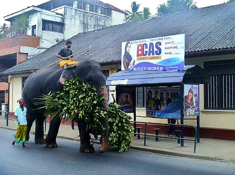 Australian Cricket Tours - An Elephant Passing A Bus Stop In Kandy, Sri Lanka
