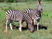 Australian Cricket Tours - Zebras At Schotia Private Game Reserve, Port Elizabeth, South Africa