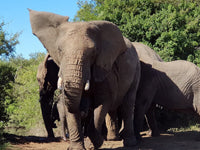Australian Cricket Tours - An Elephant At Schotia Private Game Reserve, Port Elizabeth, South Africa