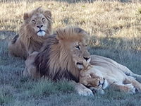 Australian Cricket Tours - Three Lions Lounging On The Savannah At Schotia Private Game Reserve, Port Elizabeth, South Africa