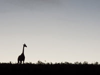 Australian Cricket Tours - A Giraffe At Schotia Private Game Reserve, Port Elizabeth, South Africa