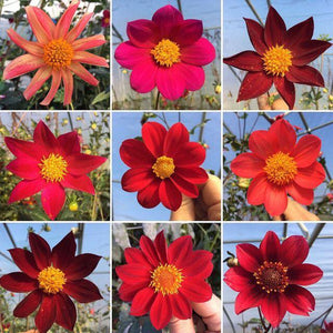 Dahlia Plants: Various Single Red, Maroon, Burgundy (local pickup only - cannot ship)