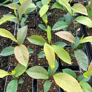 "PLANT: Franklinia Tree - 4"" POT - Local only, no shipping"