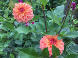 Fern Cliff Copper Dahlia Tubers