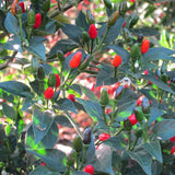 Willing's Barbados Pepper