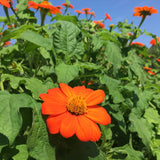 "PLANT: Tithonia - 4"" POT - Local only, no shipping"