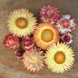 "PLANT: Strawflower - 4"" POT - Local only, no shipping"