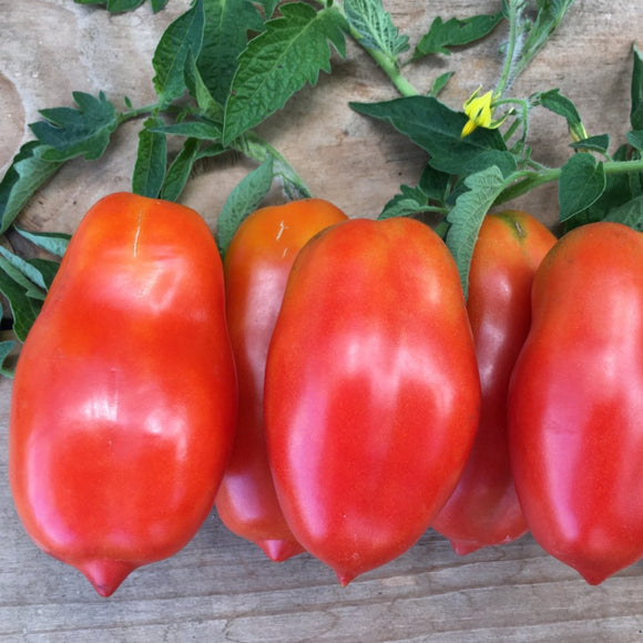 "PLANT: San Marzano Tomato - 4"" pot - Local only - no shipping"