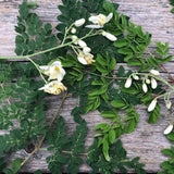 Moringa Leaf (Dried Herb)