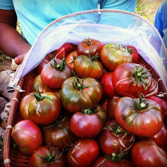 PLANT: Paul Robeson Tomato - 4