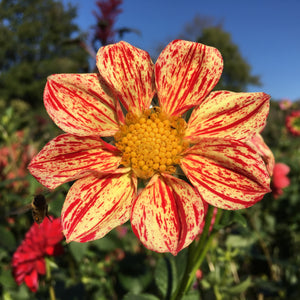 Roughwood Claire Dahlia Tubers