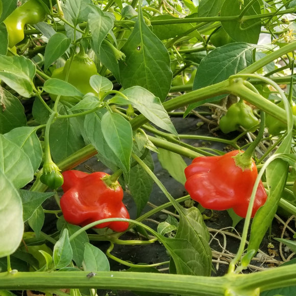 Red Scotch Bonnet Peppers growing on the plant