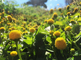 Spilanthes, Lemon Drop