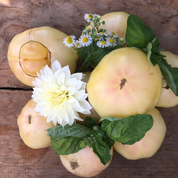 "PLANT: White Queen Tomato - 4"" pot - Local only - no shipping"