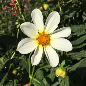 Dahlia Plants: Best Single White (local pickup only - cannot ship)