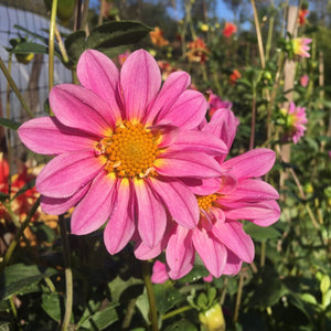 "Dahlia Plant: ""Bilennial Sunrise"" (local pickup only - cannot ship)"