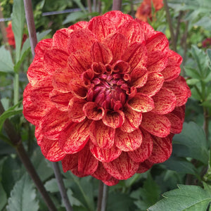 "Dahlia Plants: ""Cornel"" (local pickup only)"
