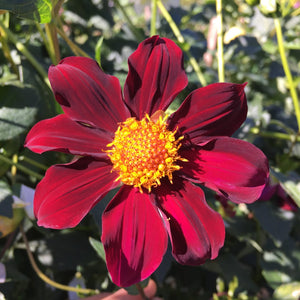 "Dahlia Plants: ""Dahlia Atropurpurea"" (local pickup only - cannot ship)"