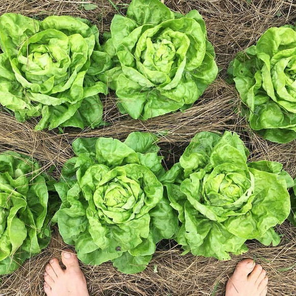 Landis Winter Lettuce