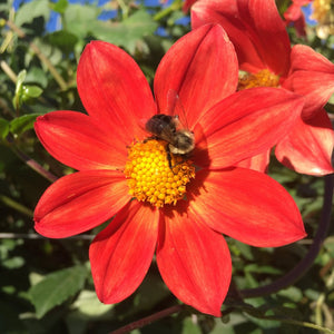 "Dahlia Plants: ""Orange Star 1"" (local pickup only - cannot ship)"