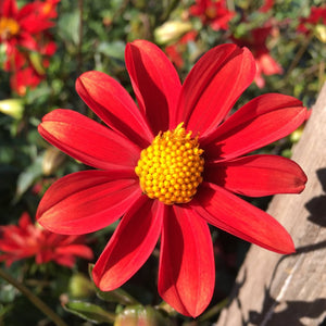 "Dahlia Plants: ""Orange Star #2"" (local pickup only - cannot ship)"
