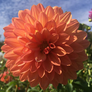 "Dahlia Plants: ""Orange Stripe"" (local pickup only - cannot ship)"