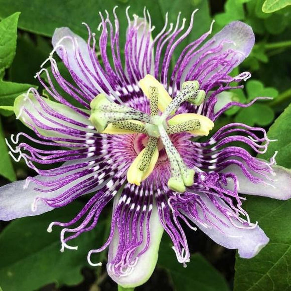 PLANT: Passionflower Plant - Gallon Pot - Local only - no shipping