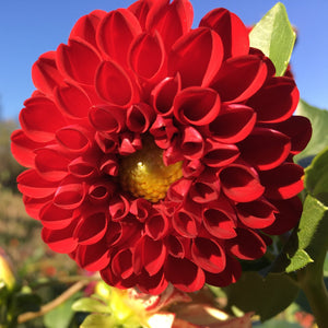 "Dahlia Plants: ""Red Pom Pom"" (local pickup only - cannot ship)"