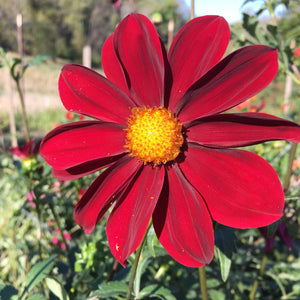 "Dahlia Plants: ""Roughwood Aztec"" (local pickup only - cannot ship)"