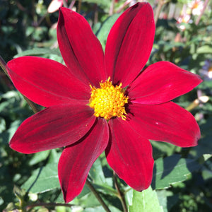 "Dahlia Plants: ""Red with Black Stripe"" (local pickup only - cannot ship)"