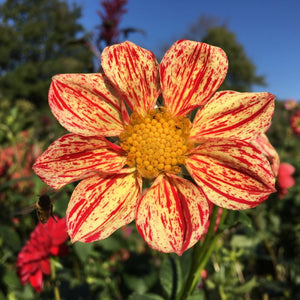 "Dahlia Plants: ""Roughwood Claire"" (local pickup only - cannot ship)"