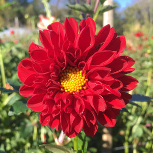 "Dahlia Plants: ""Roughwood Jaclyn"" (local pickup only - cannot ship)"