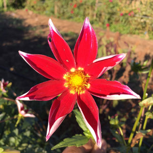 "Dahlia Plants: ""Roughwood Janet"" (local pickup only - cannot ship)"