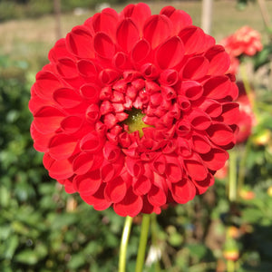 "Dahlia Plants: ""Roughwood Lumina"" (local pickup only - cannot ship)"
