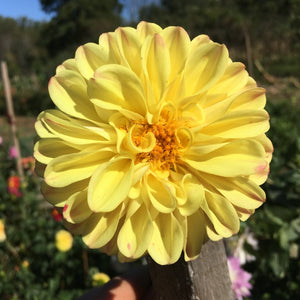 "Dahlia Plants: ""Roughwood Picotee"" (local pickup only - cannot ship)"