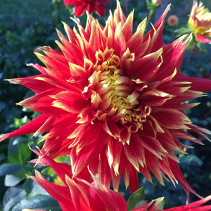 "Dahlia Plants: ""Show and Tell"" (local pickup only - cannot ship)"