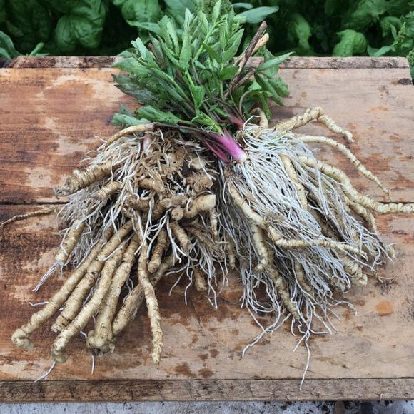 PLANT: Skirret - Gallon Pot - Local only - no shipping
