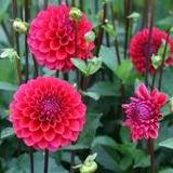 "Dahlia Plants: ""Spellbreaker"" (local pickup only - cannot ship)"