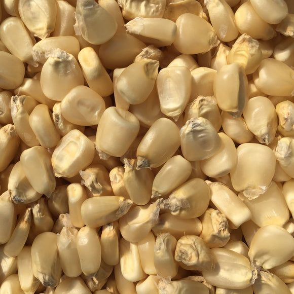 Thompson's Prolific White Dent Corn