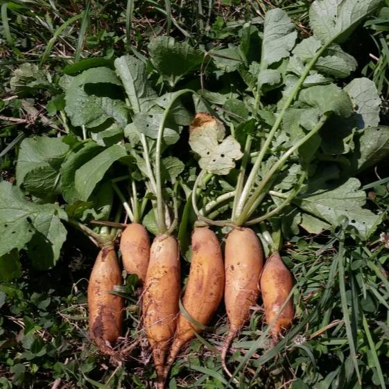 Yellow Carrot-Shaped Radish