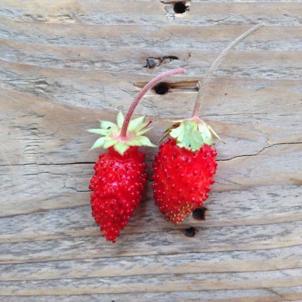 Piccolo Alpine Strawberry Baron Von Solemacher Seeds