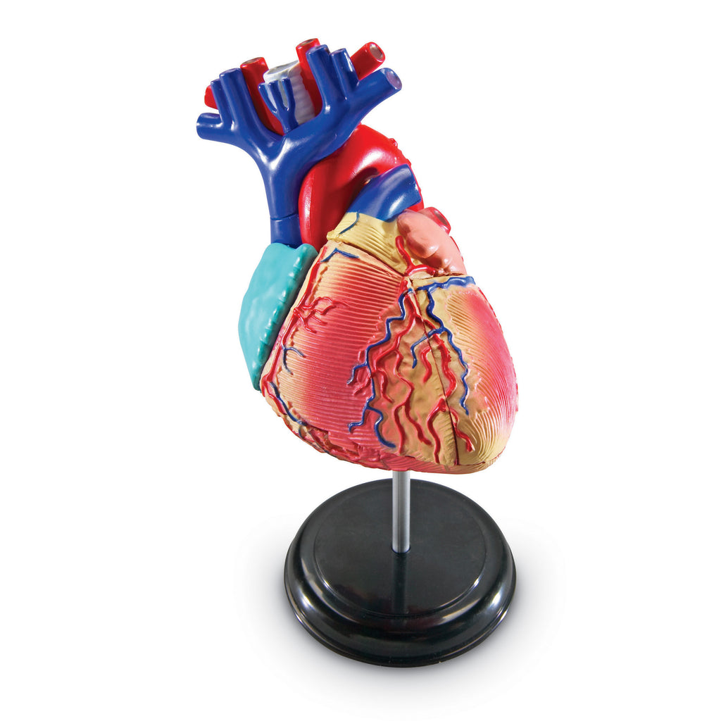 Model Heart Anatomy