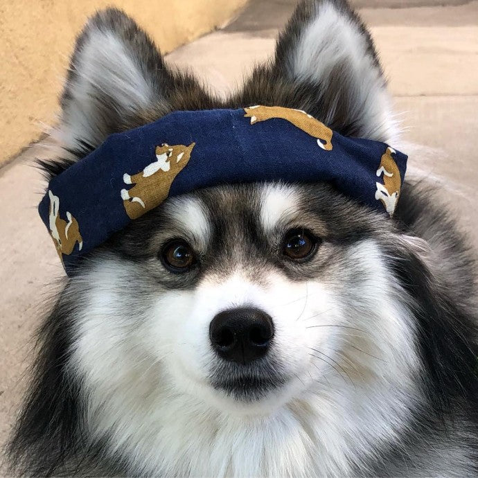 Meet Norman, The Adorable Pomeranian-Husky Mix The Internet Has Fallen In Love With