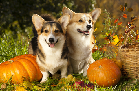 12 Human Foods That Are Actually Good For Dogs PET-icure Pet Grooming & Supplies Pepperell Massachusetts 01463 Groomer Pet Store Pumpkin