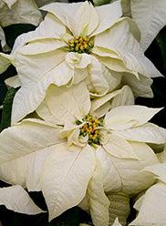 "Holiday Poinsettia - WHITE - 6"" pot"