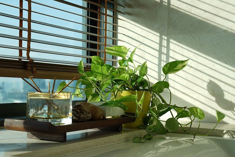 Money Plant - The Best Household Plant