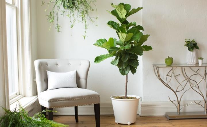 Basic Care Tips of Fiddle Leaf Fig Tree - Orchid Girl and Plants